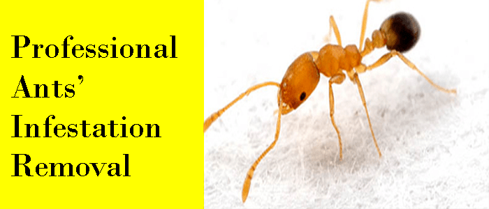Professional Ants' Infestation Removal